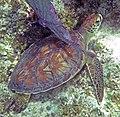 Chelonia mydas (green sea turtle) (San Salvador Island, Bahamas) 4 (16158070626).jpg
