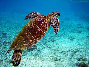 Funafuti Conservation Area - Green sea turtle swimming towards surface