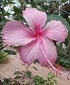 Chembarathy flower Rose (hibiscus).jpg