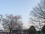 Cherry trees (26186750350).jpg