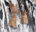 Chestnut and Common Quaker's - Flickr - Bennyboymothman.jpg