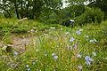 Chicory (25138398134).jpg