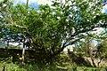 Chiminango (Pithecellobium dulce) (14516767547).jpg