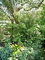 Chimonanthus yunnanensis W.W.Sm. (AM AK317908-3).jpg