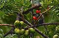 Chipe de Montaña, Slate Throated Redstart, Myioborus miniatus (9707621034).jpg