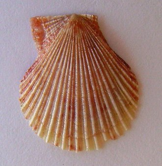 Chlamys (bivalve) - Chlamys zelandiae New Zealand fan shell.