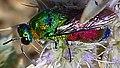 Chrysididae. Jewel Wasp. (Chrysis splendidula^) - Flickr - gailhampshire 2.jpg