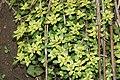 Chrysosplenium nagasei s13.jpg