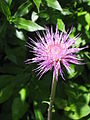 Cirsium heterophyllum002.jpg