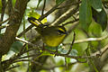 Citrine Warbler - South Ecuador S4E2839 (22648633507).jpg