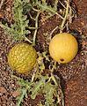 Citrullus colocynthis1.jpg