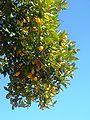 Citrus-japonica-20080127.JPG