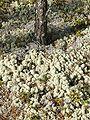 Cladonia alpestris 2006 09 03.JPG