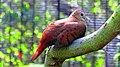 Claravis pretiosa -Florida, USA -captive-8a (1).jpg