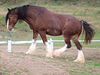 Clydesdale horse - Clydesdale horse, sabino pattern, side view