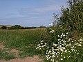 Coastal Flowers - geograph.org.uk - 1281708.jpg