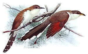 Black-billed cuckoo - Comparison of black-billed cuckoo and yellow-billed cuckoo