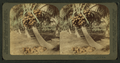 Cocoanut (coconut) trees in the white sands of Florida, U.S.A, from Robert N. Dennis collection of stereoscopic views 11.png