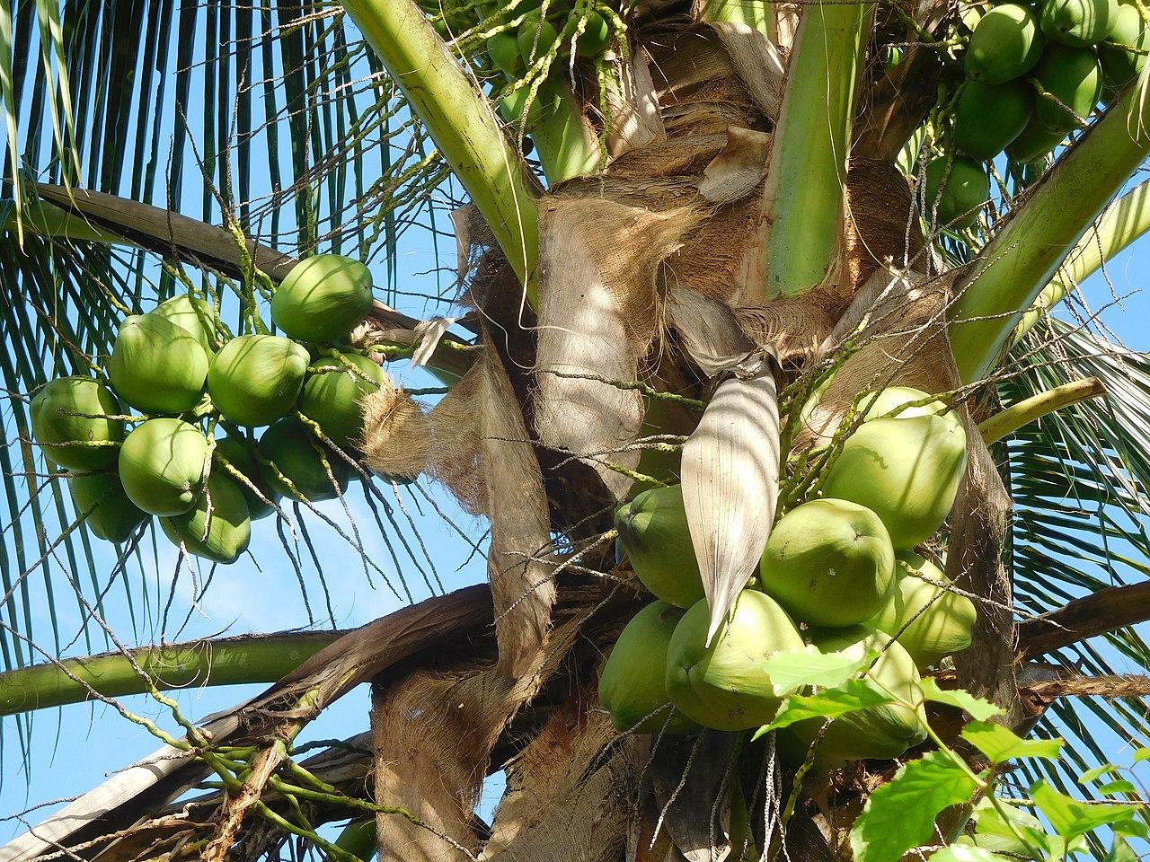 File:Cocos nucifera (Arecaceae).jpg - Wikimedia Commons