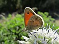 Coenonympha pamphilus 13.jpg