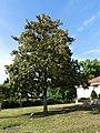 Colayrac-Saint-Cirq arbre liberté (1).jpg