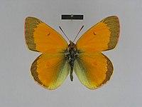 Colias viluiensis heliophora male Holotype 01 dorsal side DSM.jpg