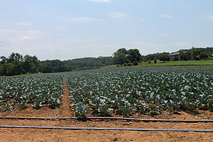 Collard greens - A collard green field in Pennsylvania