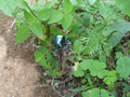 Colorful beetle from Brasília, Brazil in some plants 2.png
