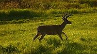 Columbian white-tailed deer Tenasillahe Island.jpg