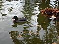 Colvert (bassin de la roseraie, parc du Thabor, Rennes).JPG