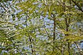 Colvillea racemosa 17zz.jpg