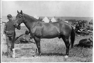 Comanche (horse) - Comanche in 1887 photographed by John C. H. Grabill