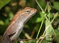 Common Garden Lizard (23811285200).jpg