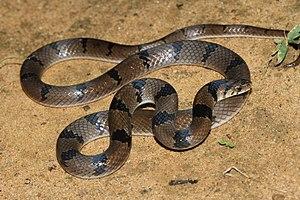Banded kukri snake - Image: Common Kukri Snake(Oligodon arnensis) (3)