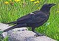 Common Raven - Corvus corax, St. John, New Brunswick.jpg
