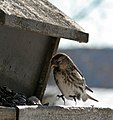 Common Redpoll landing, Cloud Bay, Ontario (3302891597).jpg