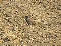 Common Starling (Sturnus vulgaris) (15707787587).jpg