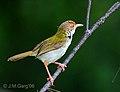 Common Tailorbird- Kolkata I3 IMG 5268.jpg