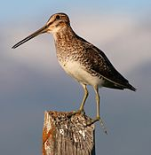 Shorebird with long legs and bill standing on a weathered wooden post