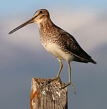 A brownish bird with long legs and a long beak stands on a fence post