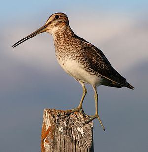 Wilson's Snipe perched on a fencepost near Wal...