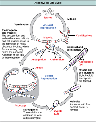 Compare asexual and sexual reproduction in fungi occurs