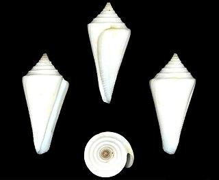 <i>Conus leekremeri</i> Species of sea snail