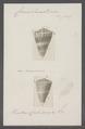 Conus sumatrensis - - Print - Iconographia Zoologica - Special Collections University of Amsterdam - UBAINV0274 086 08 0003.tif