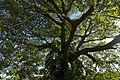Copaiba tree.jpg