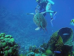 Belize_Barrier_Reef on Sea Turtle