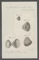 Corbula nucleus - - Print - Iconographia Zoologica - Special Collections University of Amsterdam - UBAINV0274 079 12 0004.tif