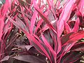 Cordyline fruticosa Rubra 1.jpg
