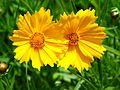 Coreopsis grandiflora 002.jpg