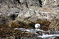 Cormoran Macho en Islotes de Puñihuil.jpg